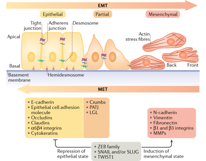 New insights into the mechanisms of epithelial–mesenchymal