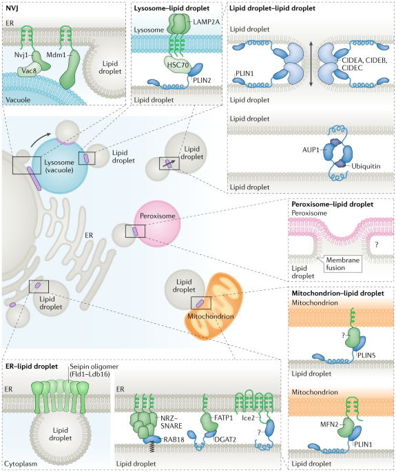 Dynamics and functions of lipid droplets | Nature Reviews Molecular