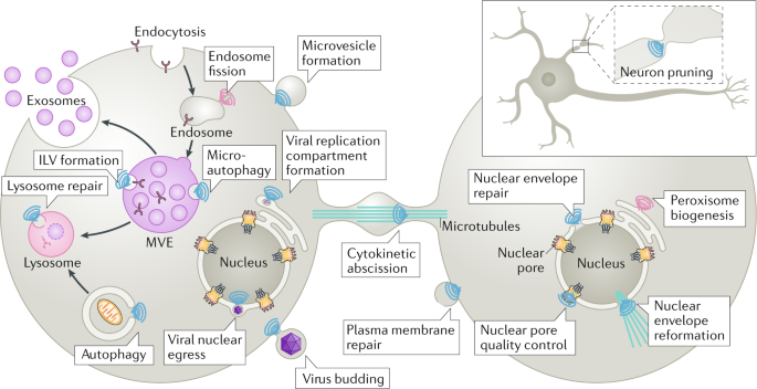 The many functions of ESCRTs | Nature Reviews Molecular Cell Biology