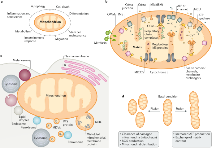 The cell biology of mitochondrial membrane dynamics