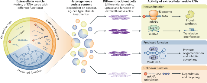 RNA delivery by extracellular vesicles in mammalian cells and its applications
