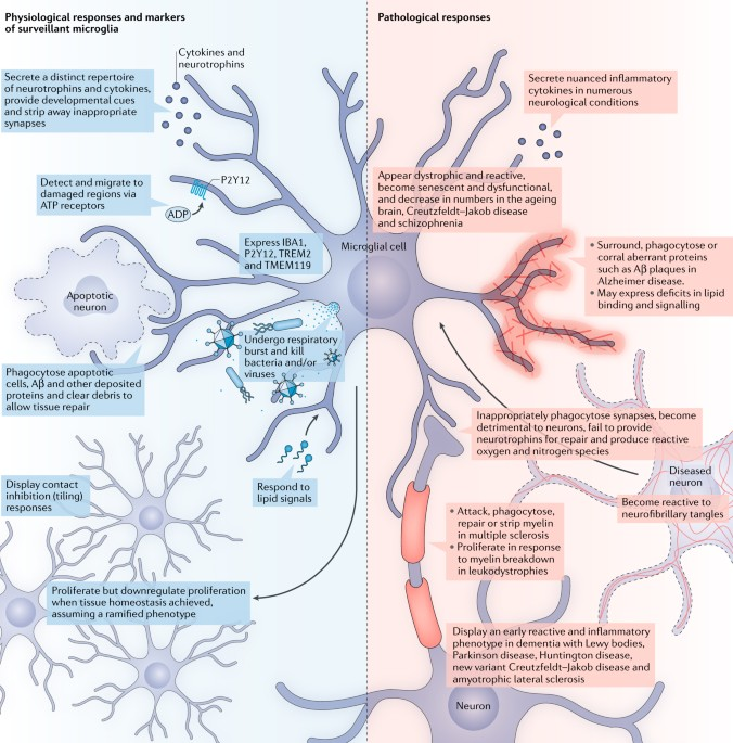 Modelling Microglial Function With Induced Pluripotent