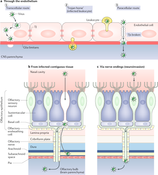 Cns Infection And Immune Privilege Nature Reviews Neuroscience