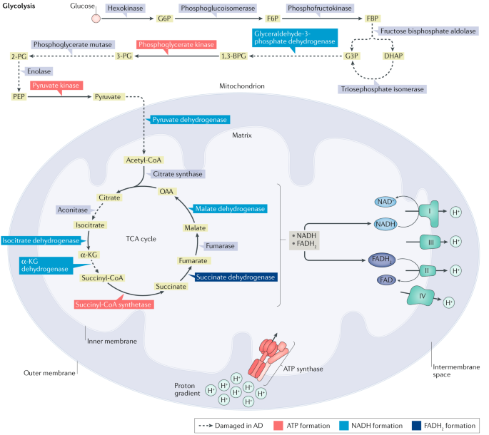 Oxidative stress, dysfunctional glucose metabolism and Alzheimer disease