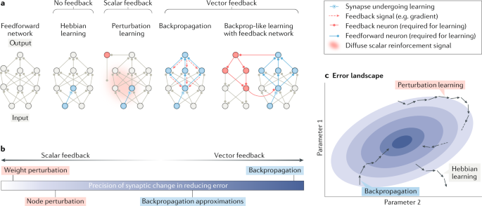 Backpropagation and the brain