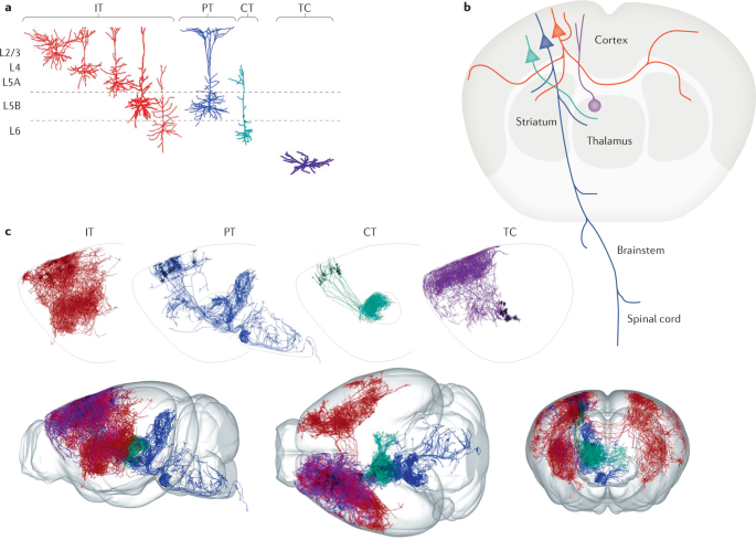 Untangling the cortico-thalamo-cortical loop: cellular pieces of a knotty circuit puzzle