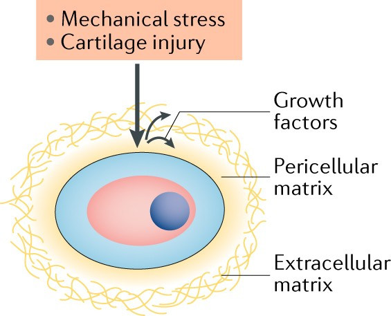 Growth factors respond to cartilage damage