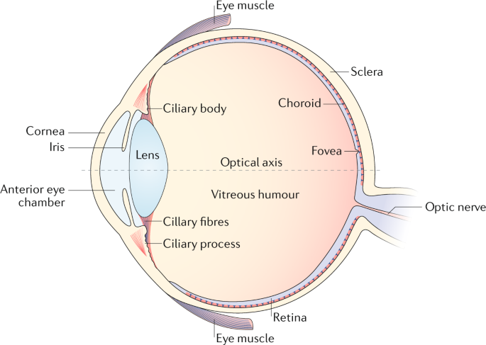 the uveal tract consists of the iris, ciliary body and choroid  the uveal  tract is sandwiched between the outer layer (cornea and sclera) and inner  layer