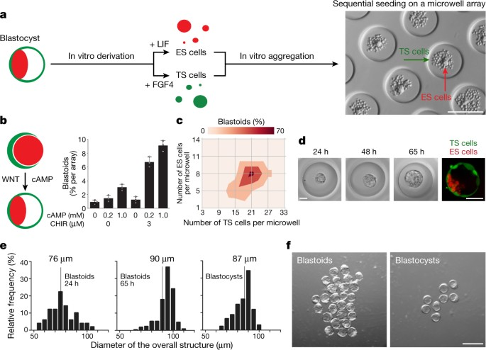 Blastocyst-like structures generated solely from stem cells | Nature