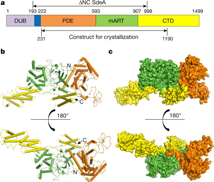 Structural Basis Of Ubiquitin Modification By The Legionella