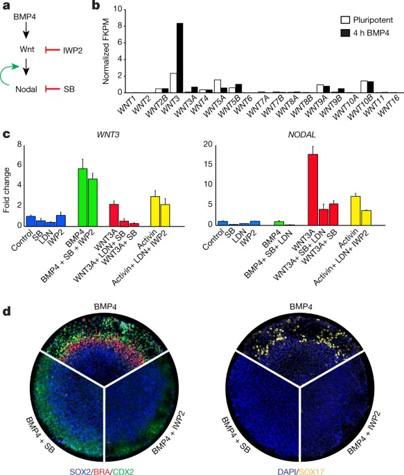 Self Organization Of A Human Organizer By Combined Wnt And Nodal