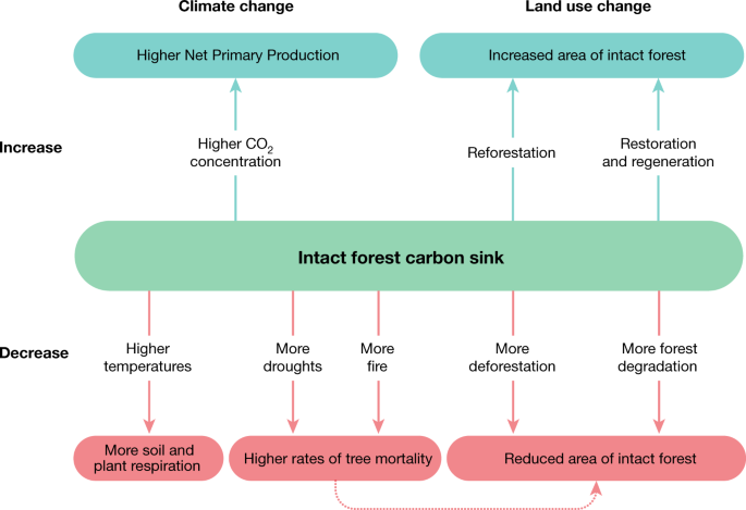 The tropical forest carbon cycle and climate change | Nature