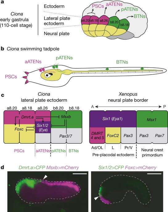 Shared evolutionary origin of vertebrate neural crest and cranial ...