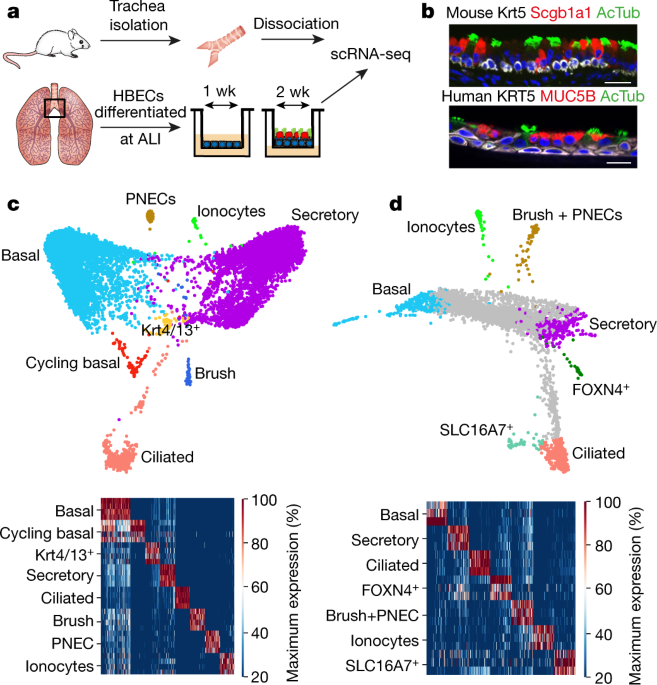 A single-cell atlas of the airway epithelium reveals the