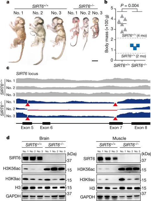 SIRT6 deficiency results in developmental retardation in