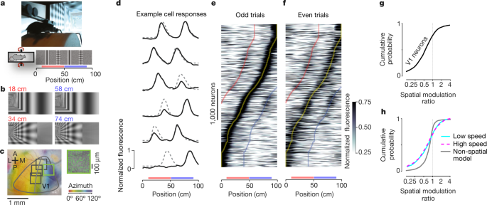 A Mice Ran On A Cylindrical Treadmill To Navigate A Virtual Corridor The Corridor Had Two Landmarks That Repeated After 40 Cm Creating Visually Matching