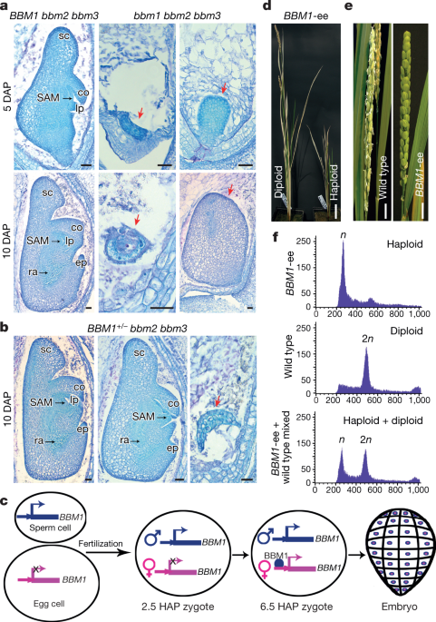 A male-expressed rice embryogenic trigger redirected for