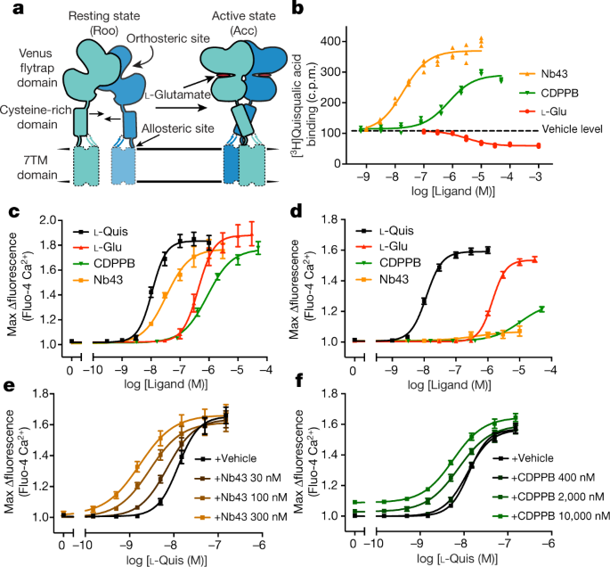 QnA VBage Structural insights into the activation of metabotropic glutamate receptors