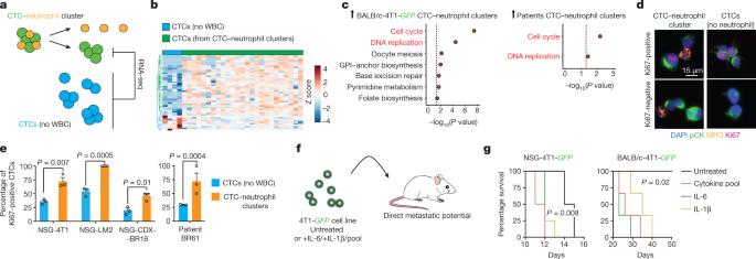 Risultati immagini per CTC-neutrophil clusters
