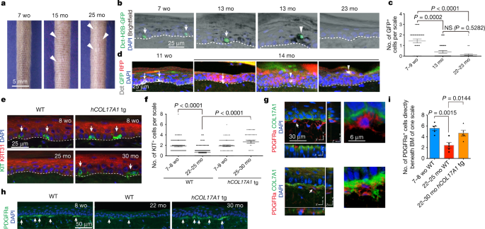 Stem cell competition orchestrates skin homeostasis and ageing   Nature