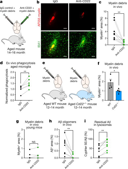 CD22 blockade restores homeostatic microglial phagocytosis