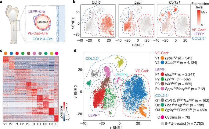 The bone marrow microenvironment at single-cell resolution