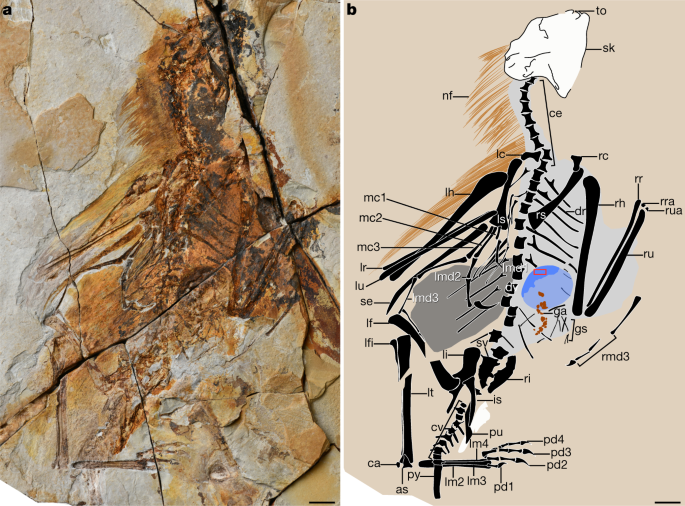 A new Jurassic scansoriopterygid and the loss of membranous wings in theropod dinosaurs - Nature.com