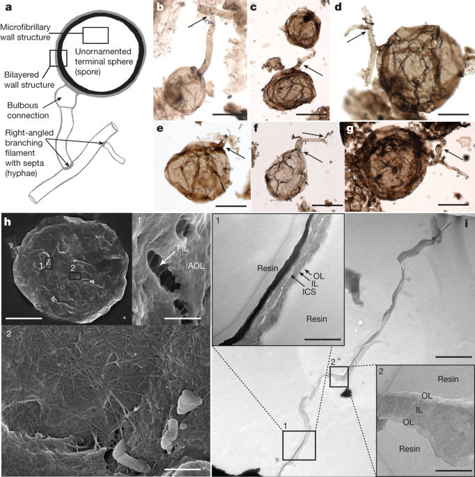 nature.com - Early fungi from the Proterozoic era in Arctic Canada