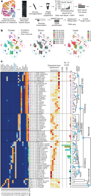 Conserved cell types with divergent features in human versus