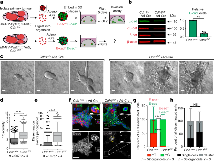 E-cadherin is required for metastasis in multiple models of
