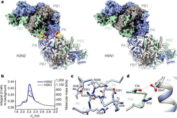 Structures of influenza A virus RNA polymerase offer insight