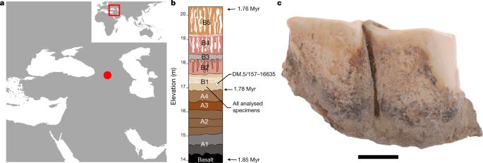 Early Pleistocene enamel proteome from Dmanisi resolves Stephanorhinus phylogeny