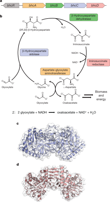 Marine Proteobacteria metabolize glycolate via the β-hydroxyaspartate cycle