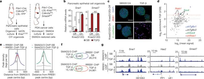 TGF-β orchestrates fibrogenic and developmental EMTs via the RAS effector RREB1