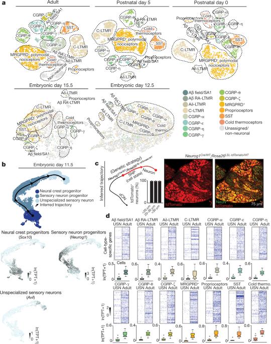 The emergence of transcriptional identity in somatosensory neurons