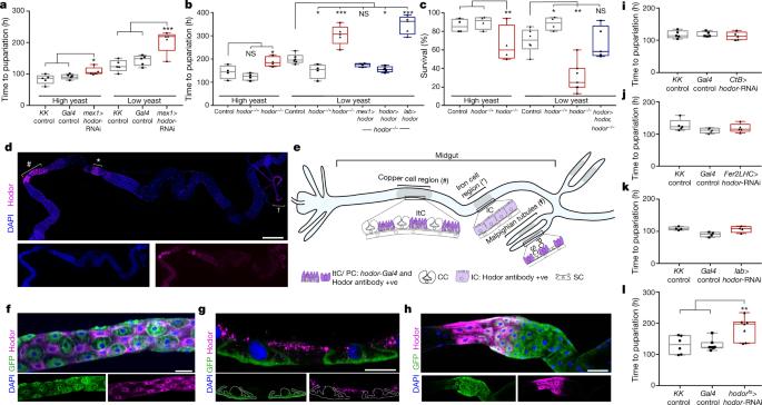 An intestinal zinc sensor regulates food intake and developmental growth