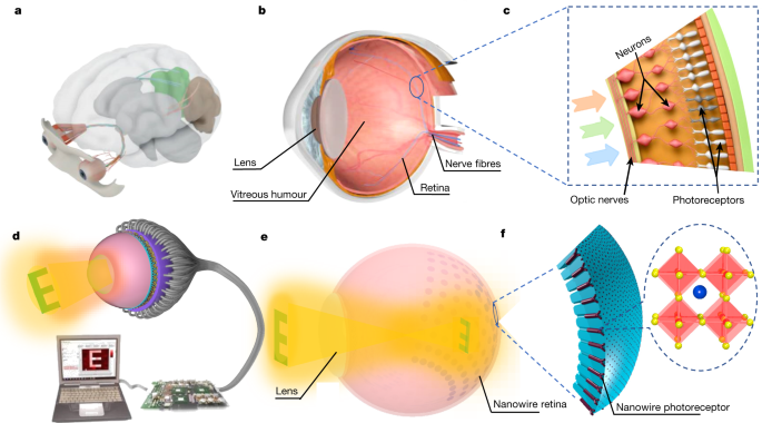 A biomimetic eye with a hemispherical perovskite nanowire array retina - Nature.com