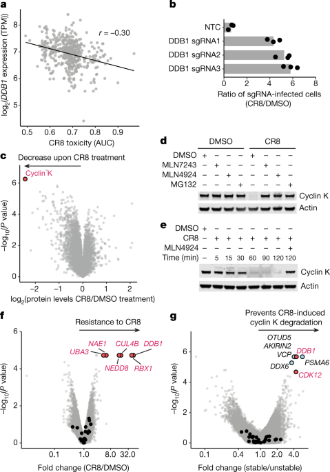 The CDK inhibitor CR8 acts as a molecular glue degrader that depletes cyclin K