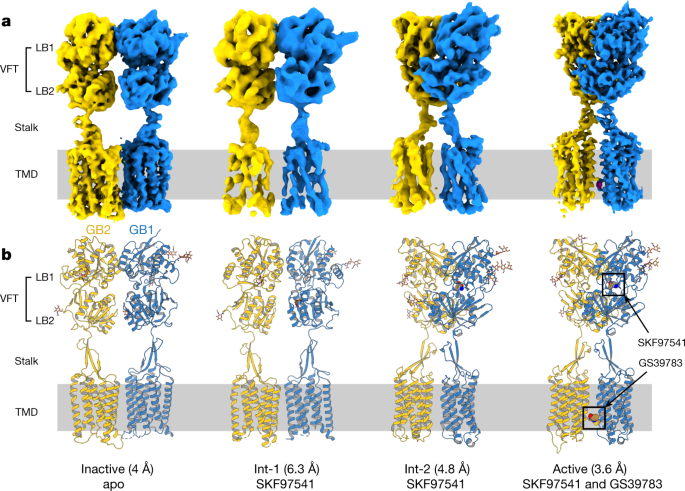 Structural basis of the activation of a metabotropic GABA receptor