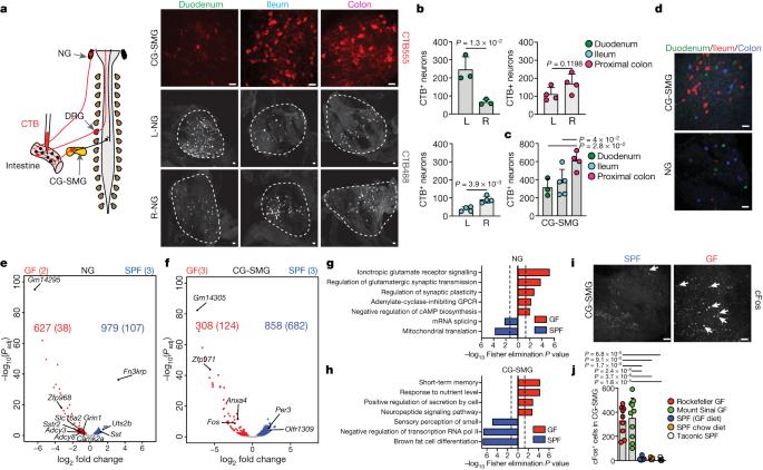 Microbiota modulate sympathetic neurons via a gut–brain circuit