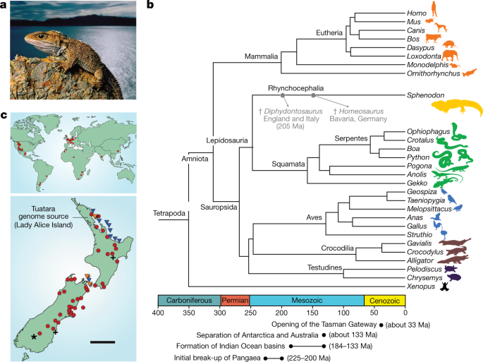 The tuatara genome reveals ancient features of amniote evolution