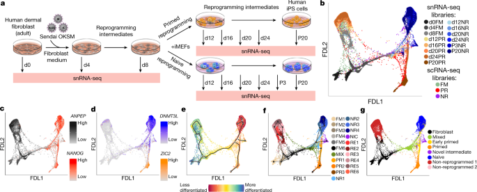 Reprogrammingroadmap reveals route tohuman induced trophoblast stem cells