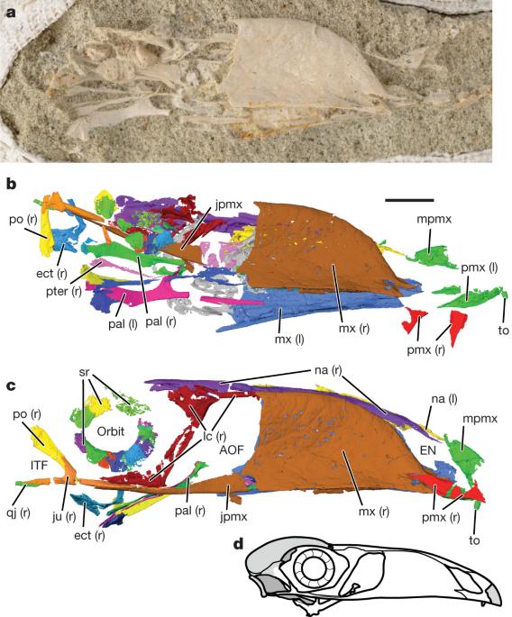 Late Cretaceous bird from Madagascar reveals unique development of beaks - Nature.com