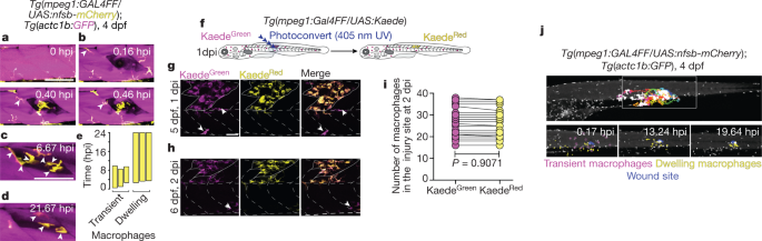Macrophages provide a transient muscle stem cell niche via NAMPT secretion - Nature.com