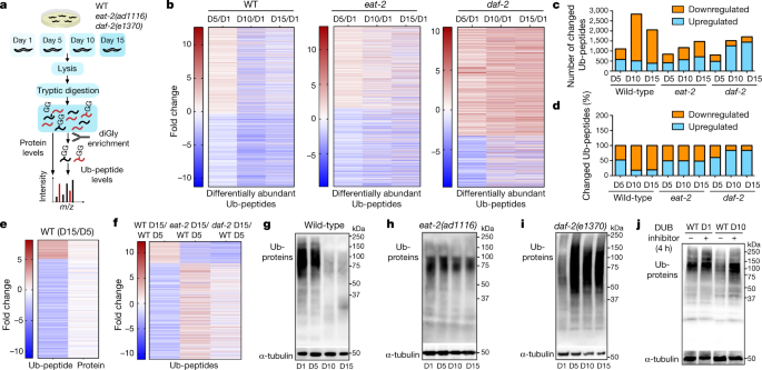 Rewiring of the ubiquitinated proteome determines ageing in C. elegans