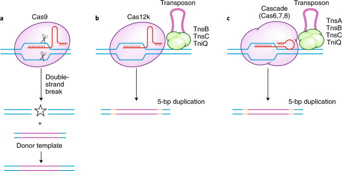 Jumping at the chance for precise DNA integration | Nature Biotechnology