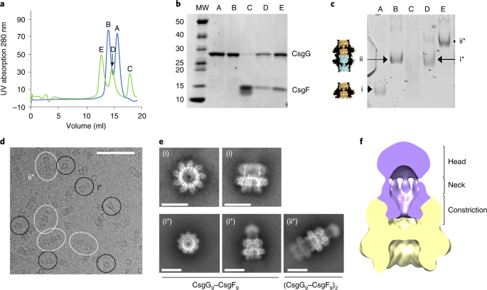 A dual-constriction biological nanopore resolves homonucleotide sequences with high fidelity