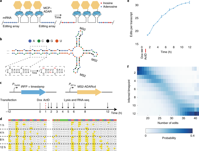 RNA timestamps identify the age of single molecules in RNA sequencing thumbnail