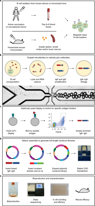 Generation of recombinant hyperimmune globulins from diverse B-cell repertoires thumbnail
