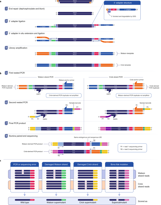 Detection of low-frequency DNA variants by targeted sequencing of the Watson and Crick strands thumbnail